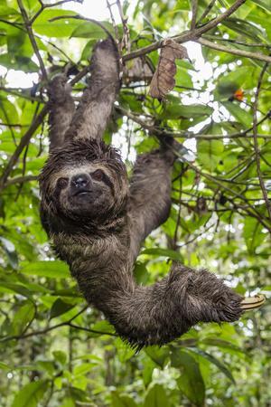 https://imgc.artprintimages.com/img/print/a-wild-brown-throated-sloth-landing-casual-upper-amazon-river-basin-loreto-peru_u-l-q1boc990.jpg?p=0