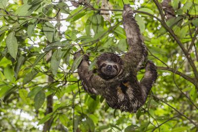 A wild brown-throated sloth , Landing Casual, Upper Amazon River Basin, Loreto, Peru-Michael Nolan-Framed Photographic Print