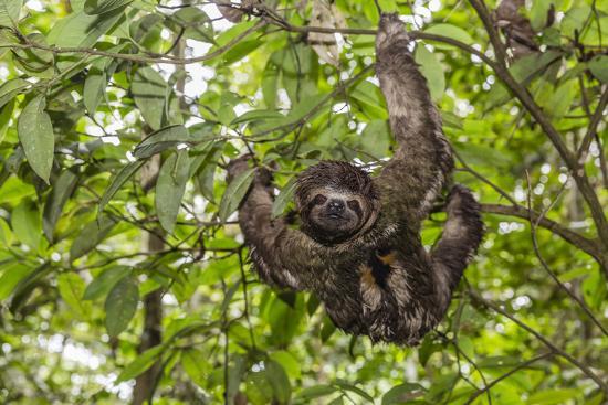 A wild brown-throated sloth , Landing Casual, Upper Amazon River Basin, Loreto, Peru-Michael Nolan-Photographic Print
