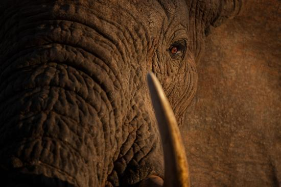 A Wild Bull Elephant Comes to Drink at the Ithumba Stockade-Michael Nichols-Photographic Print