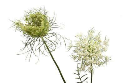 A Wild Carrot Plant, Daucus Carota-Joel Sartore-Photographic Print