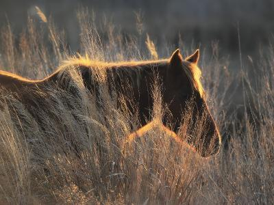 A Wild Chincoteague Pony at Sunset in Golden Sunlight-Robbie George-Photographic Print