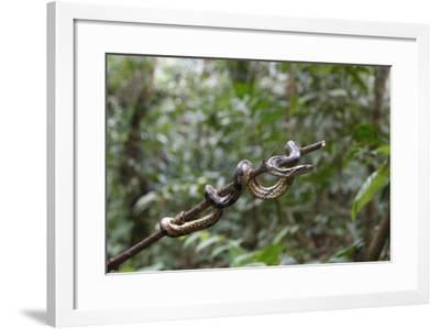 A wild green anaconda (Eunectes murinus), Amazon National Park, Loreto, Peru, South America-Michael Nolan-Framed Photographic Print