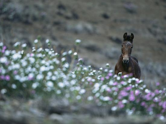 A Wild Horse on a Wildflower-Covered Hillside-Tim Laman-Photographic Print