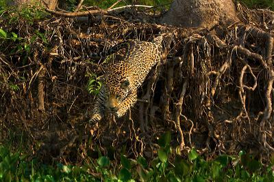 A Wild Jaguar Leaps into the Cuiaba River after Prey-Steve Winter-Photographic Print