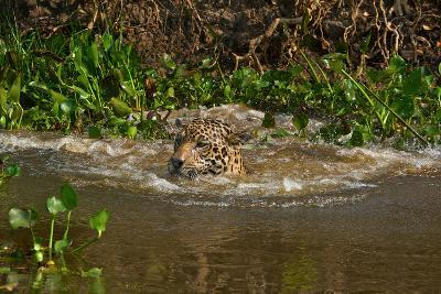 A Wild Jaguar Swims in the Cuiaba River after Jumping in to Catch Prey-Steve Winter-Photographic Print