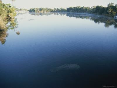 A Wild Manatee Swims Down the Scenic Homosassa River in Early Morning-Stephen St^ John-Photographic Print