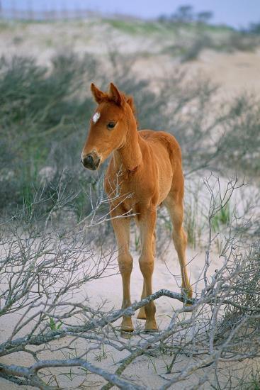 A Wild Pony On the Beach At Chincoteague Island-Scott Sroka-Photographic Print