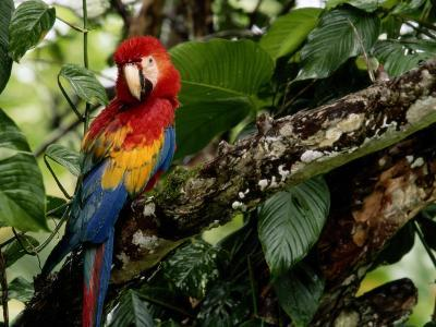 A Wild Scarlet Macaw Perched on a Tree in Costa Rica--Photographic Print