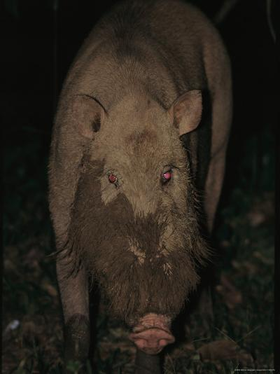 A Wild Swine Forages for Food in the Ground-Tim Laman-Photographic Print