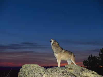 A Wolf Howls at Twilight-Norbert Rosing-Photographic Print