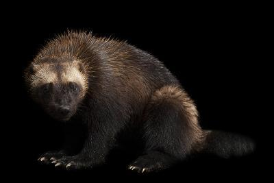 A Wolverine, Gulo Gulo, at New York State Zoo, a Candidate Species for Federal Protection.-Joel Sartore-Photographic Print
