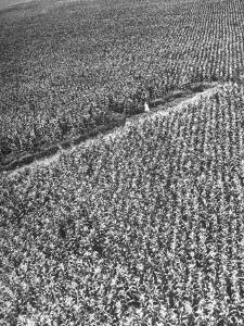 A Woman Standing in the Middle of a Corn Field on a Farm