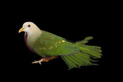 A Wompoo Fruit Dove, Ptilinopus Magnificus, at the Kansas City Zoo-Joel Sartore-Photographic Print