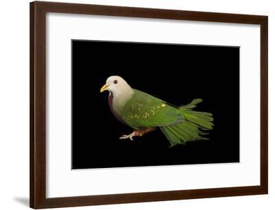 A Wompoo Fruit Dove, Ptilinopus Magnificus, at the Kansas City Zoo-Joel Sartore-Framed Photographic Print