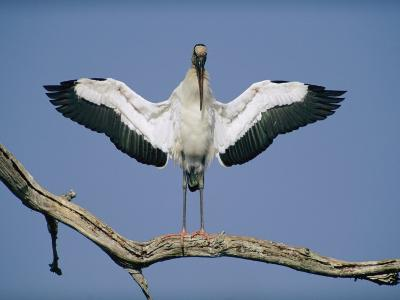 A Wood Stork Spreads its Wings-Joel Sartore-Photographic Print