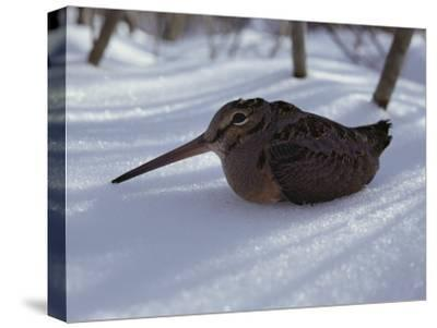A Woodcock Sits in the Snow