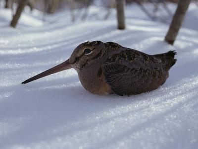 A Woodcock Sits in the Snow--Photographic Print