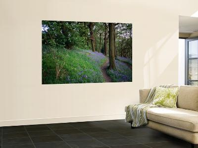 A Woodland Floor Carpeted with Bluebells-A Native Flower Unique to Britain-David Else-Wall Mural