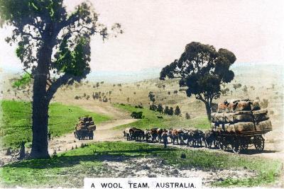 A Wool Team, Australia, C1920S--Giclee Print