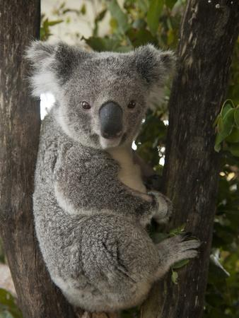 A Wounded Federally Threatened Koala Sits in a Tree in an Enclosure at a Wildlife Hospital-Joel Sartore-Photographic Print
