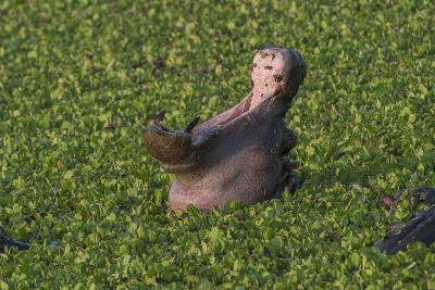 A Yawning Hippopotamus, Hippopotamus Amphibius, In A Green Swamp-Andrew Coleman-Photographic Print