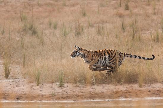 A Year-Old Bengal Tiger, Panthera Tigris Tigris, Running Along the Water's Edge-Jak Wonderly-Photographic Print