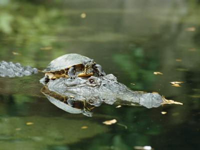 A Yellow-Bellied Turtle Hitches a Ride on the Head of an Alligator-Norbert Rosing-Photographic Print
