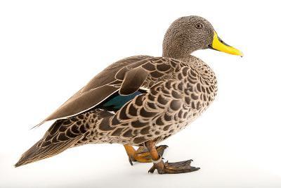 A Yellow Billed Duck, Anas Undulata, at the Sylvan Heights Bird Park-Joel Sartore-Photographic Print