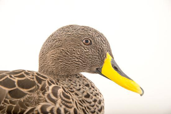 A Yellow Billed Duck, Anas Undulata, at the Sylvan Heights Bird Park-Joel Sartore-Photographic Print