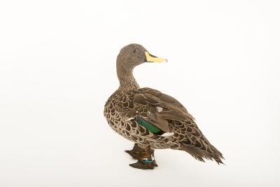 A Yellow-Billed Duck, Anas Undulata Undulata, at the Omaha Henry Doorly Zoo-Joel Sartore-Photographic Print