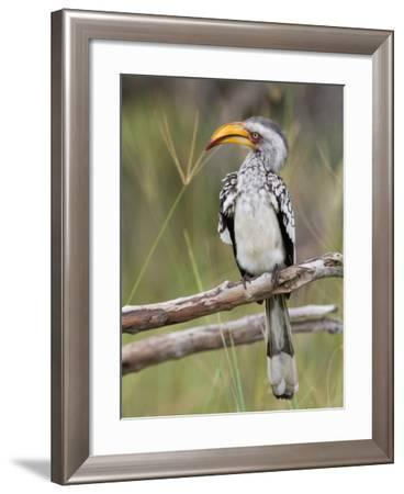 A Yellow-Billed Hornbill Perched on a Branch-Roy Toft-Framed Photographic Print