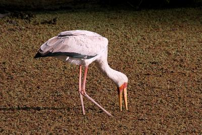 A Yellow Billed Stork Feeds in the Marshes, Sifting Through Vegetation with its Long Slender Beak-Shannon Switzer-Photographic Print