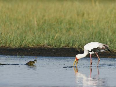 A Yellow-Billed Stork Forages in Shallow Water Near a Small Nile Crocodile-Beverly Joubert-Photographic Print