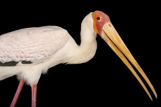 A Yellow-Billed Stork, Mycteria Ibis, at the Living Desert in Palm Desert, California-Joel Sartore-Photographic Print