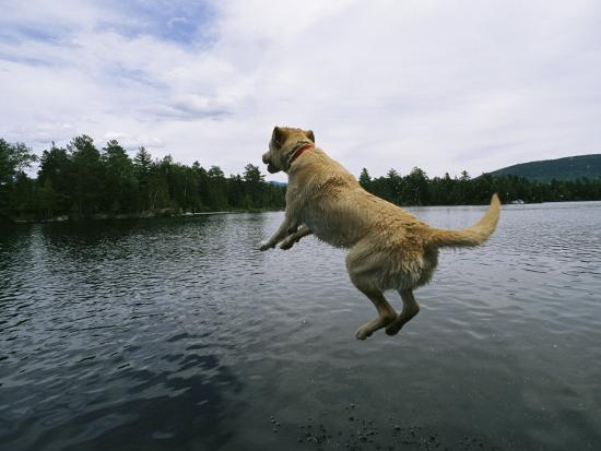 A Yellow Labrador Retriever Jumps into a Lake-Heather Perry-Photographic Print
