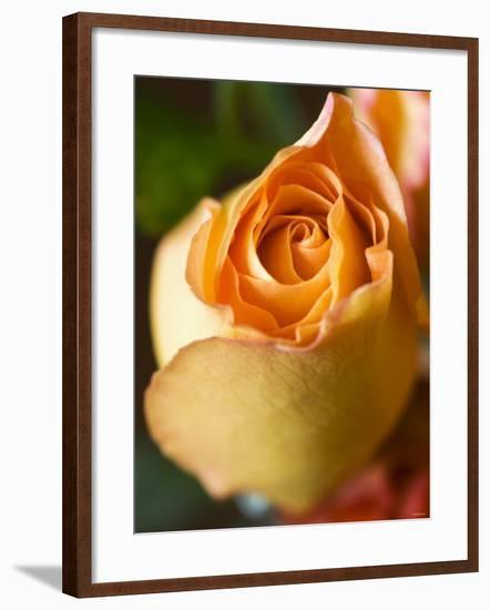 A Yellow Rose-Jana Liebenstein-Framed Photographic Print