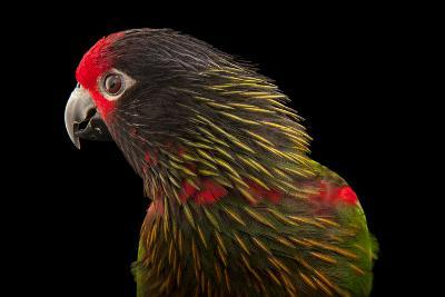 A Yellow-Streaked Lory, Chalcopsitta Scintillata, at the Cleveland Metroparks Zoo-Joel Sartore-Photographic Print