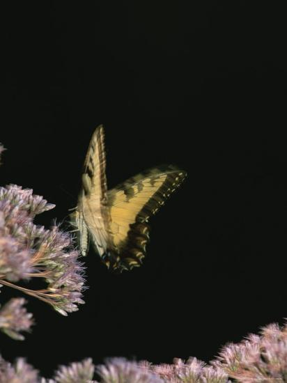 A Yellow Swallowtail Butterfly Lands on a Flower-Taylor S^ Kennedy-Photographic Print