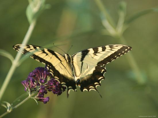 A Yellow Swallowtail Butterfly on a Flower-Taylor S^ Kennedy-Photographic Print