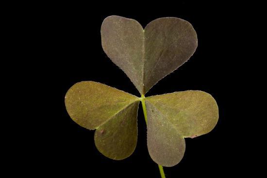 A Yellow Wood Sorrel Plant, Oxalis Stricta-Joel Sartore-Photographic Print