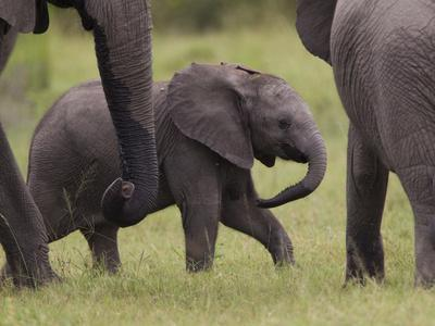 A Young African Elephant, Loxodonta Africana, Among Larger Adults-Roy Toft-Photographic Print