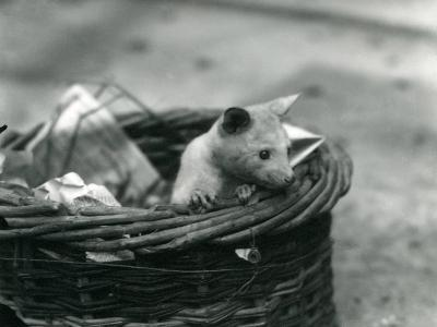 A Young Albino Opossum Peering Out of a Basket at London Zoo, October 1920-Frederick William Bond-Photographic Print