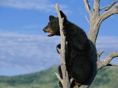 A Young American Black Bear Perches in the Fork of a Tree-Norbert Rosing-Photographic Print