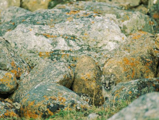A Young Arctic Fox Peers from Behind Lichen-Covered Granite Boulders-Norbert Rosing-Photographic Print