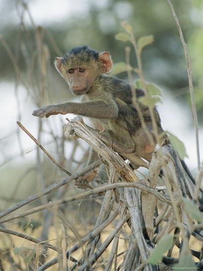 A Young Baboon Sits on Branches-Roy Toft-Photographic Print