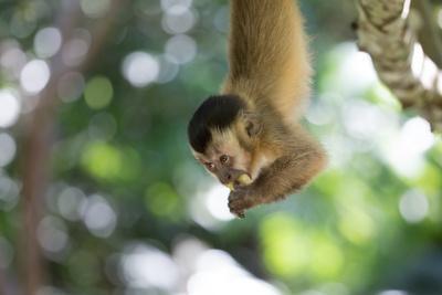 https://imgc.artprintimages.com/img/print/a-young-black-capped-capuchin-monkey-hangs-from-a-tree-eating-fruit_u-l-pswk4o0.jpg?p=0