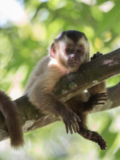 A Young Black Capped Capuchin Monkey Rests on a Tree-Alex Saberi-Photographic Print