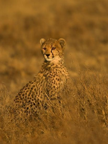 A Young Cheetah Sitting in Grass Illuminated in a Golden Light (Acinonyx Jubatus)-Roy Toft-Photographic Print