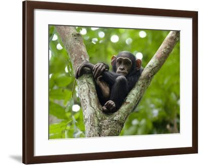 A Young Chimp Resting High in the Forest Canopy-Ian Nichols-Framed Photographic Print